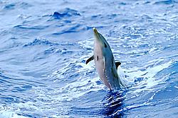 pantropical spotted dolphin calf wake-riding, Stenella attenuata, off Kona Coast, Big Island, Hawaii, Pacific Ocean.