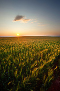 Sunset over Montana Wheat Field.