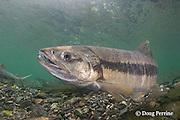 chum salmon, dog salmon, silverbrite salmon, or keta salmon, Oncorhynchus keta, in spawning stream, Bear Trap, Port Gravina, Alaska ( Prince William Sound )