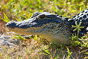 "Juvenile American alligator basking at J.N. ""Ding"" Darling National Wildlife Reserve, Captiva Island, Florida, USA"