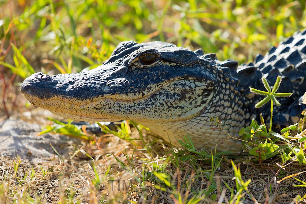 "Juvenile American alligator basking at J.N. ""Ding"" Darling National Wildlife Reserve, Captiva Island, Florida, USA"