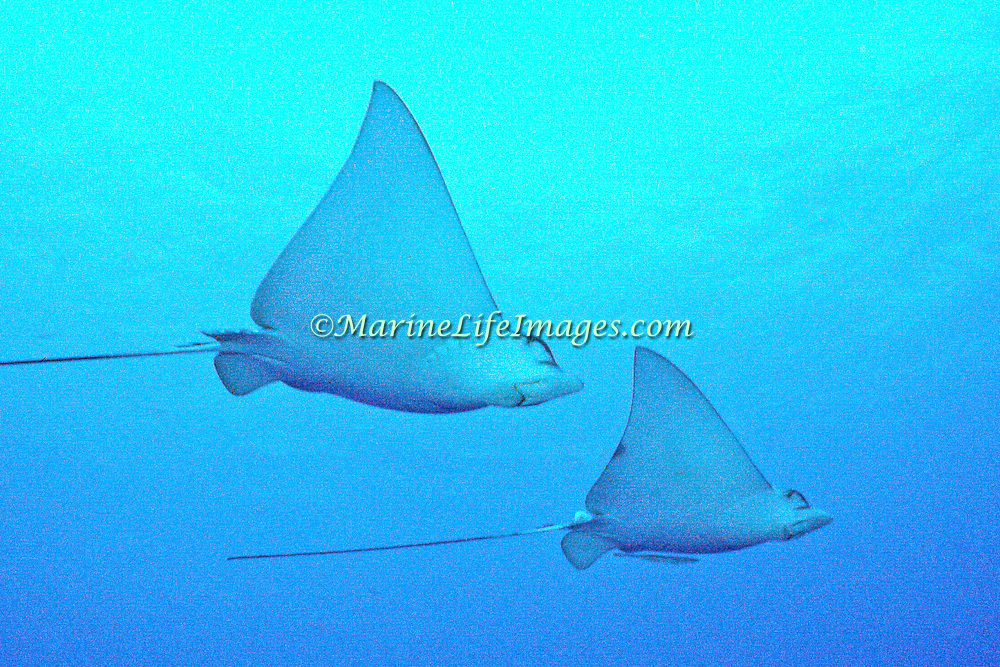 Spotted Eagle Ray inhabit the open water, stopping to feed in sand and rubble areas on mollusks in the Tropical West Atlantic; picture taken Belize.