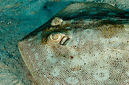 Yellow Stingray, Urolophus jamaicensis, Caribbean, Closeup