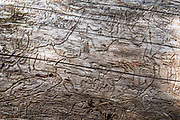 Meandering pine bark beetle trails are exposed on a bare log. Peter Lougheed Provincial Park, Kananaskis Country, Alberta, Canada.