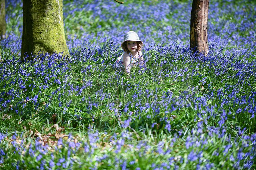 © Licensed to London News Pictures. 24/04/2021. Carmarthenshire, Wales. Pictured is three-year-old Lillian Joy amongst Bluebells at Dinfwr Castle in Carmarthenshire, as the UK enjoys warm Spring weather over the weekend. Bluebells flower until late May every year, and create a carpet of beautiful blue colours in woodland across the country. Photo credit: Robert Melen/LNP