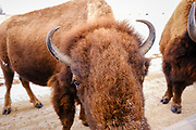 19 FEBRUARY 2021 - PRAIRIE CITY, IOWA: An American Bison (buffalo) licks road salt off of a car at the Neal Smith National Wildlife Refuge near Prairie City, about 45 minutes from downtown Des Moines. The Wildlife Refuge has the largest herd of wild bison in Iowa and the only herd of wild elk in Iowa. Both animals were once native to Iowa and common in the state, but were hunted to extinction in 19th century. Controlled herds were reintroduced in the mid 20th century. Both the bison and elk herds are carefully managed to maintain genetic diversity.     PHOTO BY JACK KURTZ