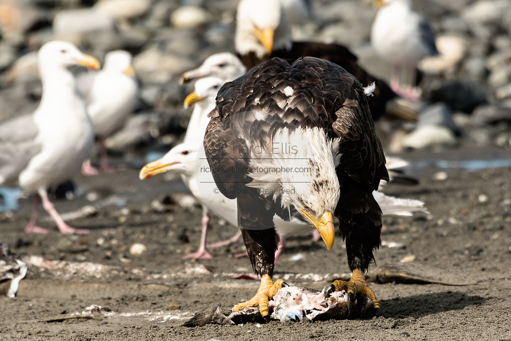 An adult bald eagle eats fish scraps surrounded by gulls on the beach at Anchor Point, Alaska.