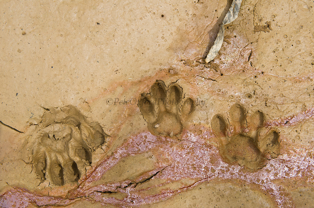 Jaguar (Panthera onca) Footprints<br /> Yasuni National Park, Amazon Rainforest<br /> ECUADOR. South America<br /> HABITAT & RANGE:  Preferred habitat is dense rainforest. Mexico across much of Central America south to Paraguay and northern Argentina.<br /> IUCN STATUS: Near Threatened.