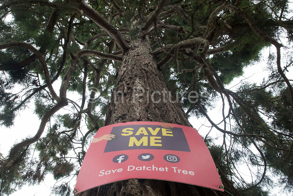 A banner for the Save Datchet Tree campaign is pictured on a Wellingtonia or Giant sequoia (Sequoiadendron giganteum) tree on 1st July 2021 in Datchet, United Kingdom. Local residents and councillors have been campaigning to save the tree, thought to be 150-175 years old and included in the Woodland Trust's Ancient Tree Inventory, since an application was made for its removal by the owners of an adjoining property. Although permission for its removal has been granted by the Royal Borough of Windsor and Maidenhead as a result of a subsidence issue, alternative solutions continue to be examined by the parties involved.