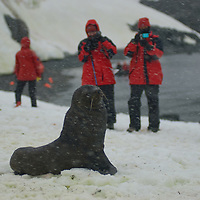Tourists photograph a Southern Fur Seal (Arctocephalus gazella) on a snowy beach on Cuverville Island, Antarctica.