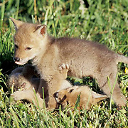 Coyote, (Canus latrans) Young pup displays dominance over sibling. Spring. Montana.  Captive Animal.