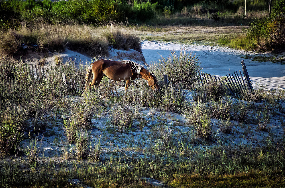 Wild Spanish mustang on dune, Outer Banks, North Carolina, USA