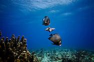 Florida Keys french angel fish underwater