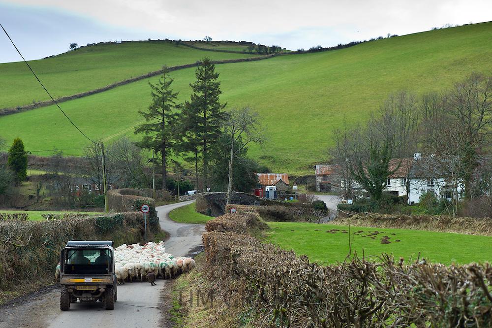 Flock of sheep in country lane in the Doone Valley on Exmoor in North Devon, UK