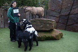 London, UK. 2 January, 2020. A zookeeper feeds pygmy goats during the annual stocktake at ZSL London Zoo. Every mammal, bird, reptile, fish and invertebrate is counted - a total of more than 500 different species - as part of an almost week-long audit required by the Zoo's licence, with the information recorded then shared with other zoos via the Species360 database.