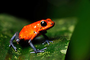 Blue-jeans Frog or Strawberry Poison-dart Frog (Dendrobates pumilio) is a distinctly coloured frog with toxic skin. La Selva Biological Station, Costa Rica | Erdbeerfröschchen (Oophaga pumilio; Syn.: Dendrobates pumilio), Biologische Forschungsstation La Selva, Costa Rica