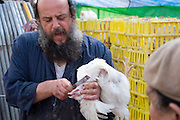 Slaughtering a chicken by cutting its neck for Kaparot, Mea Shearim, Jerusalem, Israel<br /> This is the only way a chicken can be killed and eaten by a religious Jew. All other methods will produce non kosher meat<br /> Kaparot, an aged old Jewish tradition were a chicken is waved over the believer?s head, reliving the person from all sins which are passed on to the chicken. The chicken is slaughtered and at times given to charity.