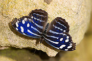 Mexican Bluewing or simple Blue Wing Butterfly, Myscelia ethusa, Central America, Nymphalidae, blue and black patterned wings open