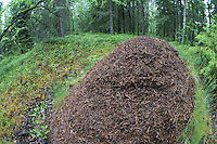 Wide angle view of wood ants nest in boreal forest, Oulu, Finland.