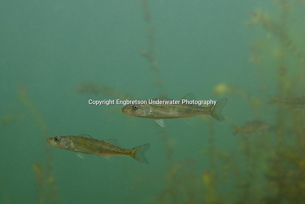 Walleye Fingerling<br /> <br /> Engbretson Underwater Photography