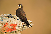 Eleonora's falcon (Falco eleonorae); number to identify the nest, Andros, Greece