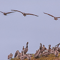 Brown Pelicans (Pelicanus occidentalis) fly, roost and preen on a rock along the Pacific Ocean coast near Pescadero, California.