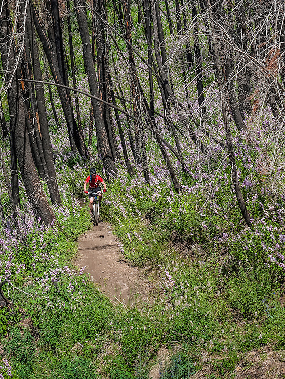 Young Mountain biker flies through lush wildflowers and mountain mint on the back side of Sun Valley's Baldy Mountain on groomed trails. Licensing and Open Edition Prints.