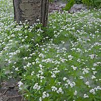 Seed-bearing cotton from an aspen tree covers sweet woodruff flowers in a garden near Bozeman, Montana.