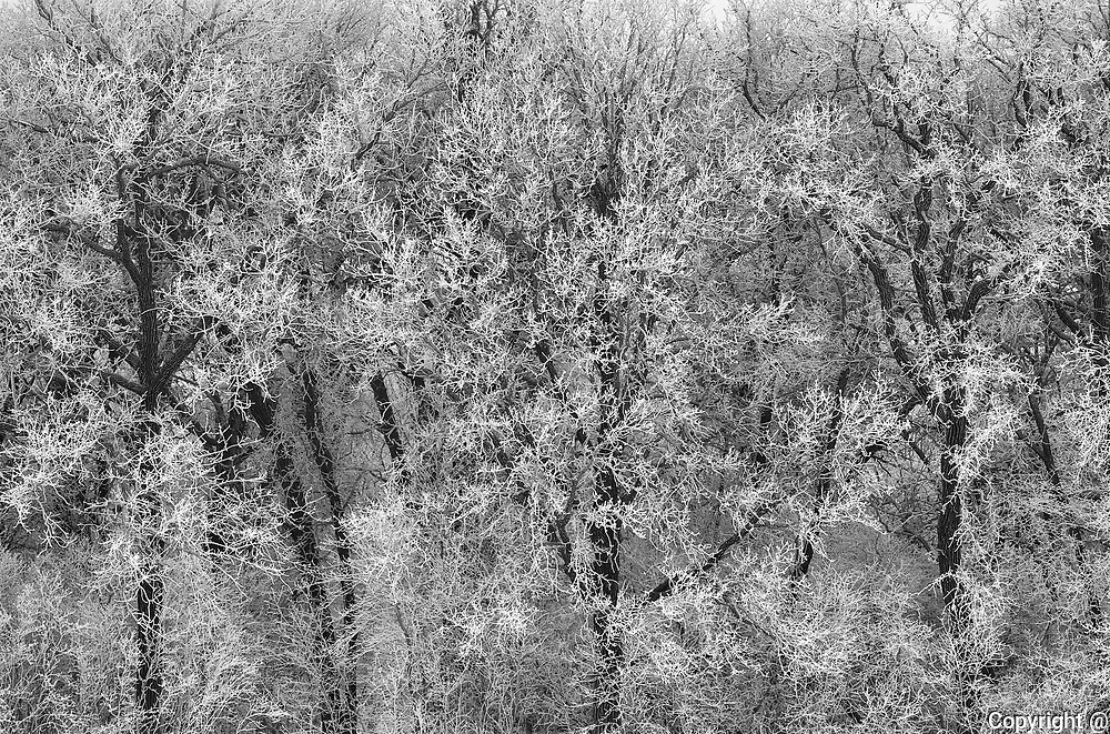 Trees in forest covered with hoarfrost<br />La Barriere Provincial Park<br />Manitoba<br />Canada