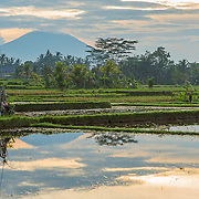 INDONESIA. Ubud, Bali. June 8th, 2013. The south of Mount Agung is home to most of Bali's largest lush-green rice crop being harvested. The Balinese rice terraces date back to over 2,000 years, when hard-working farmers began carving the stepped terraces out of steep hillsides. Rice has become the staple food for those living on the island.