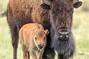 American Bison (Buffalo) cow and newborn calf in Habitat