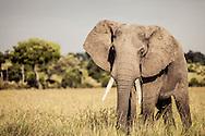 An bull elephant in the Masai Mara National Reserve, Kenya, Africa