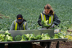 St Andrews, Scotland, UK. 7 September, 2020.Eastern European seasonal farm workers hand processing or floretting broccoli in a field outside St Andrews in Fife. The workers are from countries including Bulgaria, Romania and the Ukraine. After floretting the broccoli is transported to England for freezing. Iain Masterton/Alamy Live News