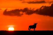 Wildebeest (Connochaetus taurinis) and the setting sun in Maasai Mara, Kenya.