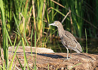 A juvenile Black-crowned Night Heron, Nycticorax nycticorax, stands on the shore of a small lake in Papago Park, part of the Phoenix Mountains Preserve near Phoenix, Arizona