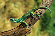 Anolis carolinensis or green anole is a tree-dwelling species of anole lizard native to the southeastern United States and introduced to islands in the Pacific and Caribbean. A small to medium-sized lizard, the green anole can change its color to several shades from brown to green.