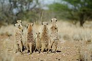 Suricate or Slender-tailed Meerkat (Suricata suricatta)  | Erdmännchen (Suricata suricatta) sind hochsoziale, in Familiengruppen organisierte Tiere. Die Warnrufe eines der Wachposten geben der Gruppe differenzierte Informationen über die Art des erspähten Feindes und die Stärke der Bedrohung. Daher reagieren die Nahrung suchenden Erdmännchen nicht immer gleich mit einer Flucht in die unterirdischen Gänge, sondern gegebenenfalls nur mit erhöhter Aufmerksamkeit. Diesen alarmierten Alt- und Jungtieren sträubt sich vor Anspannung das Fell am Rücken.