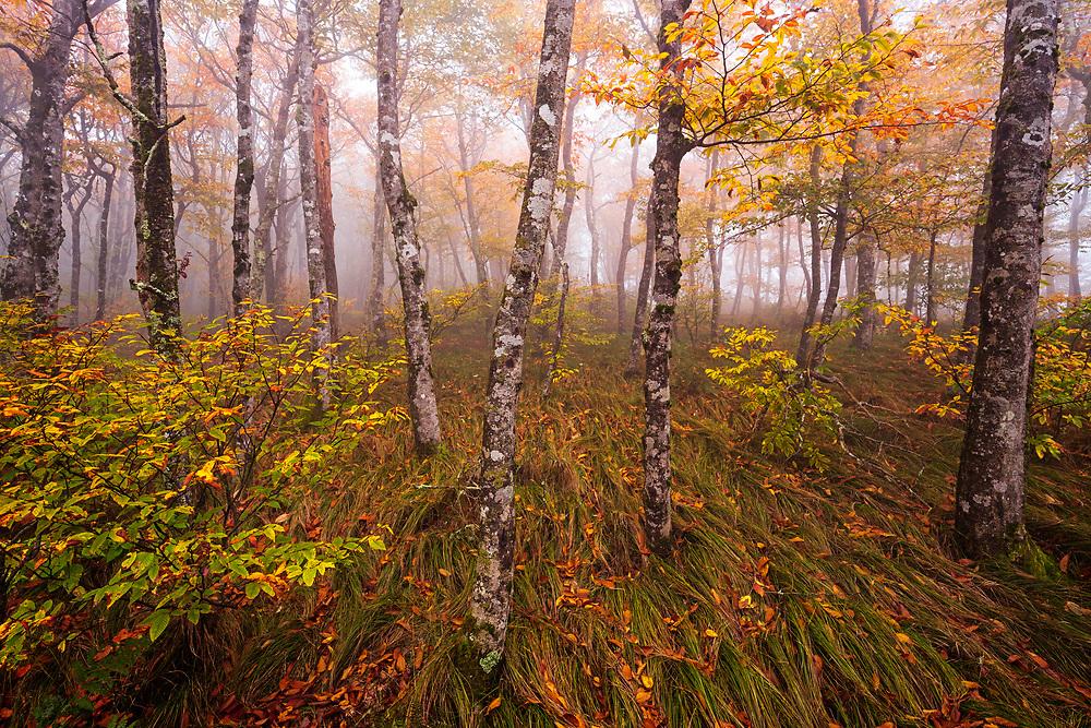 Autumn beech gap, Craggy Gardens