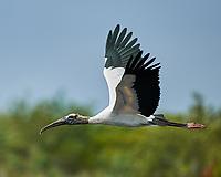 Wood Stork (Mycteria americana). Black Point Wildlife Drive. Merritt Island National Wildlife Refuge. Image taken with a Nikon D3x camera and 500 mm f/4 VR lens.