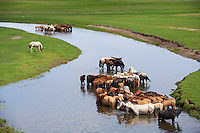 Mongolie, province de Tov, troupeau de chevaux dans la riviere Tuul // Mongolia, Tov province, horses on Tuul river