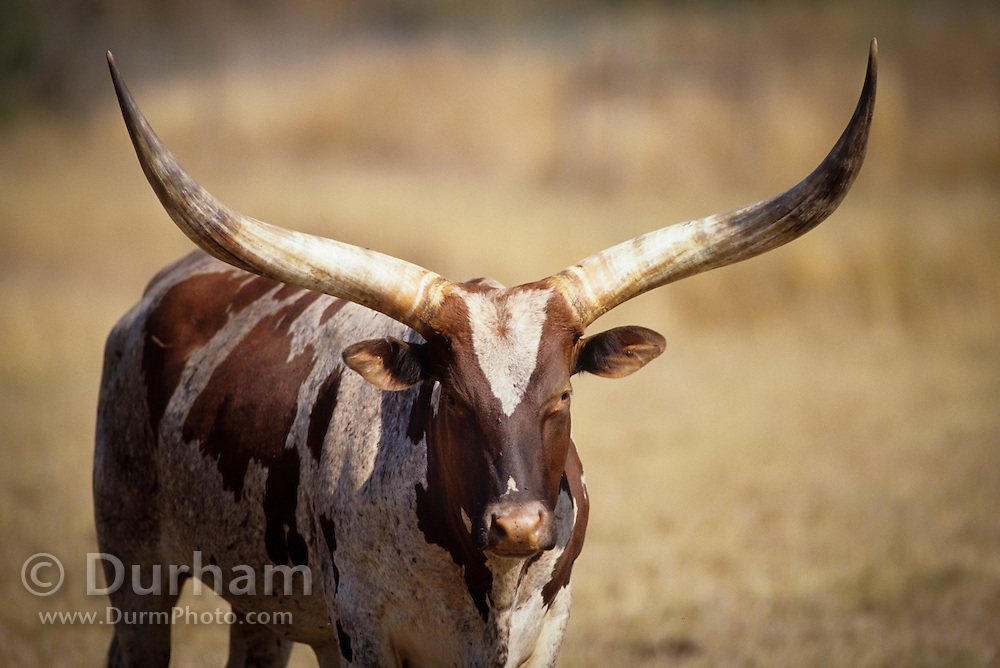 Portrait of a texas longhorn (Bos texanus) in a pasture in Oregon.