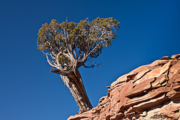 A Utah Juniper tree (Juniperus osteosperma) growing on a sandstone ledge.  Colorado National Monument.  Colorado, USA.