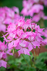 Pelargonium 'Fireworks Pink' - Fireworks series