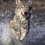 Gray Wolf (Canis lupus) running through water, Montana. Captive Animal
