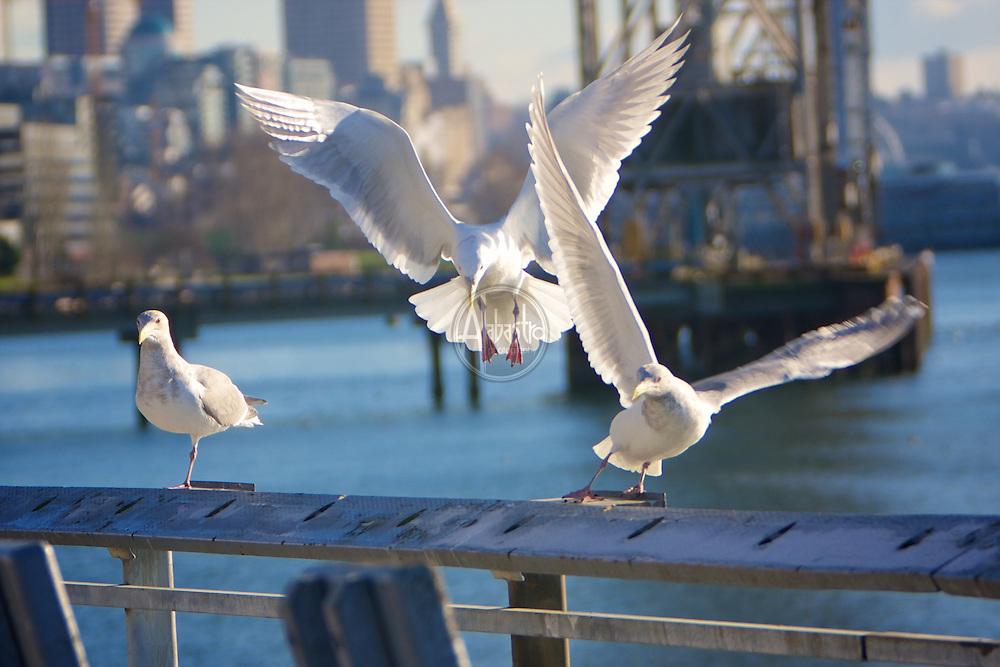 Birds of 2013: Glaucous Winged Gulls in Elliott Bay.