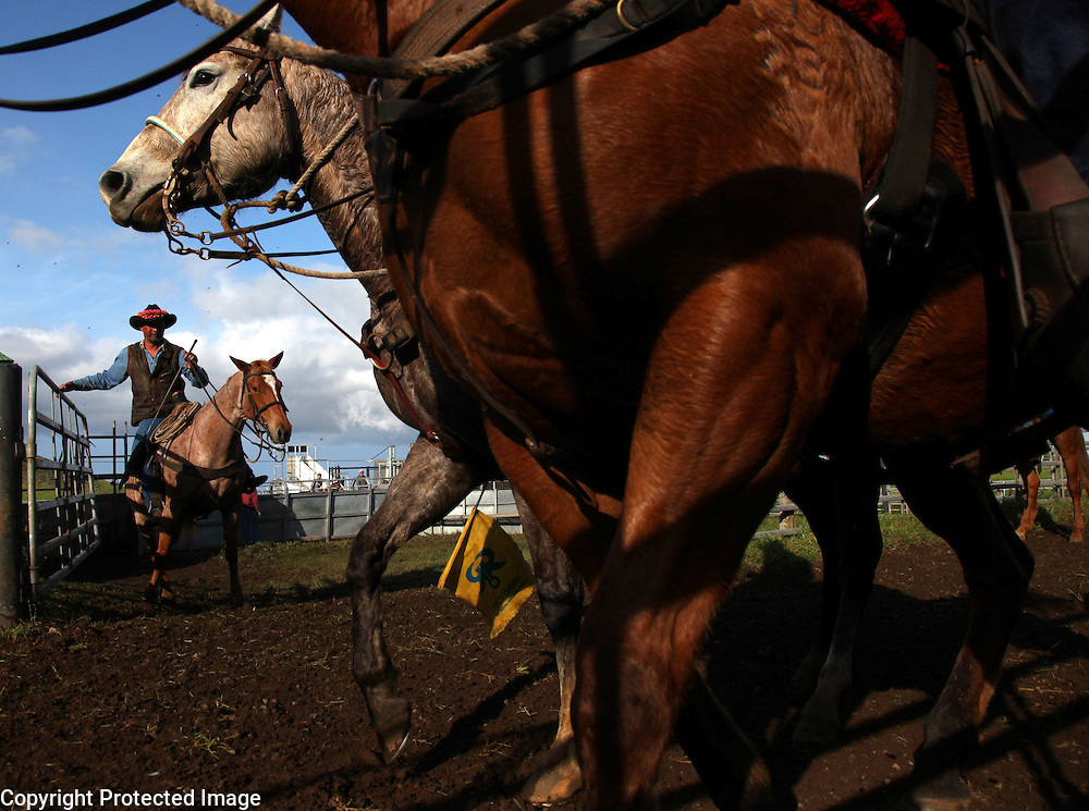 Wearing a flower lei made by his mother, Hawaiian cowboy Bernard Ho'opai maneuvers his horse to open a gate while separating calves from their mothers at Ponoholo Ranch's branding in North Kohala, Hawaii. Despite the introduction of ATVs to herd cattle on many of the ranches, the cowboys use horses for the skilled, nuanced work required in the confines of a coral during brandings and weanings. Ho'opai comes from a family with four generations of Hawaiian cowboys.