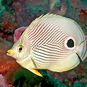 Foureye Butterflyfish flit about reef tops, often in pairs in Tropical West Atlantic; picture taken Ft. Lauderdale, FL.