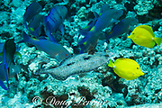 a hunting coalition of blue goatfish or yellowsaddle goatfish, Parupeneus cyclostomus, and a bluefin trevally or bluefin jack, Caranx melampygus (at left), is joined by a peacock flounder or flowery flounder, Bothus mancus, Kohanaiki, North Kona, Hawaii ( the Big Island ), USA ( Central Pacific Ocean );