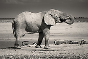 I've seen elephants in zoos of course, restricted, moving around in circles, stared at by the thousands of noisy visitors - such a desperate form of existence. In the 22,270 km² Etosha National Park in NW Namibia however, I was for the first time able to see these truly magnificent creatures in their natural habitat. Watching David Attenborough programs on TV is always a delight, but nothing prepares you for the sheer awe of seeing these animals in real life in their own world.<br />
