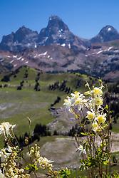Columbine, Grand Tetons, Wildflowers of Wyoming